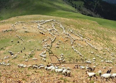 transhumancia pastores