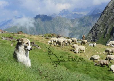 entre ovejas TVE